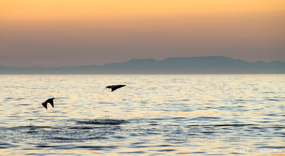 Mobula Rays Jumping at Sunset(c)KipEvansMBAG4V9467